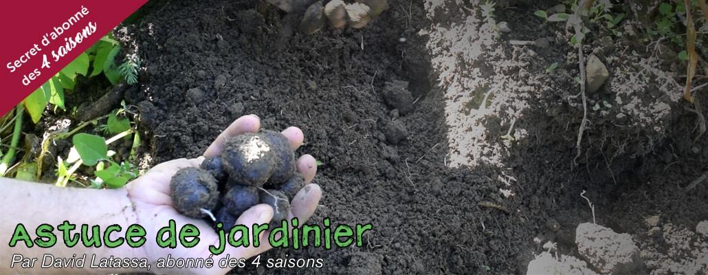 Avoir des pommes de terre nouvelles en automne