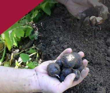 Avoir des pommes de terre nouvelles en automne 1