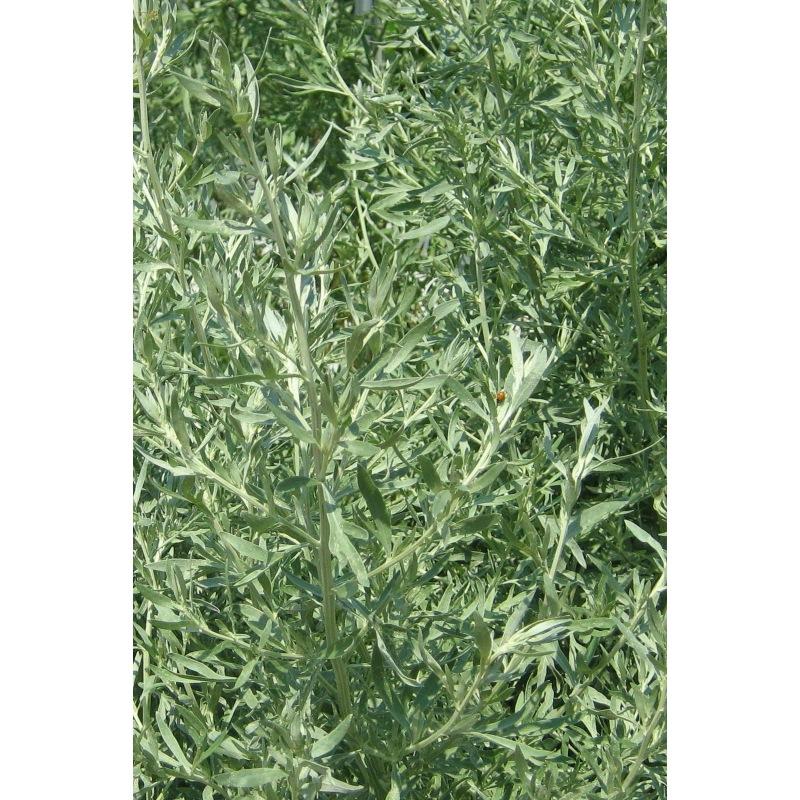 Graines Absinthe bio – Les Semailles