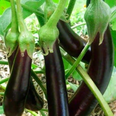 Graines Aubergine longue violette hâtive bio - Kokopelli