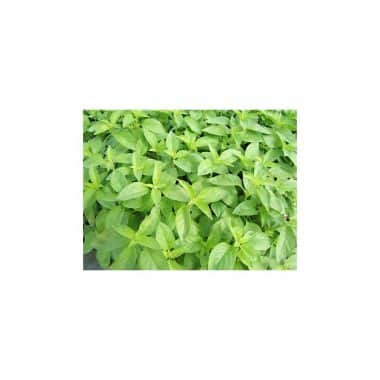 Graines Basilic Citronnelle bio - Les Semailles 1