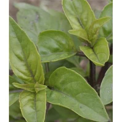 Graines Basilic Citronnelle bio – Les Semailles