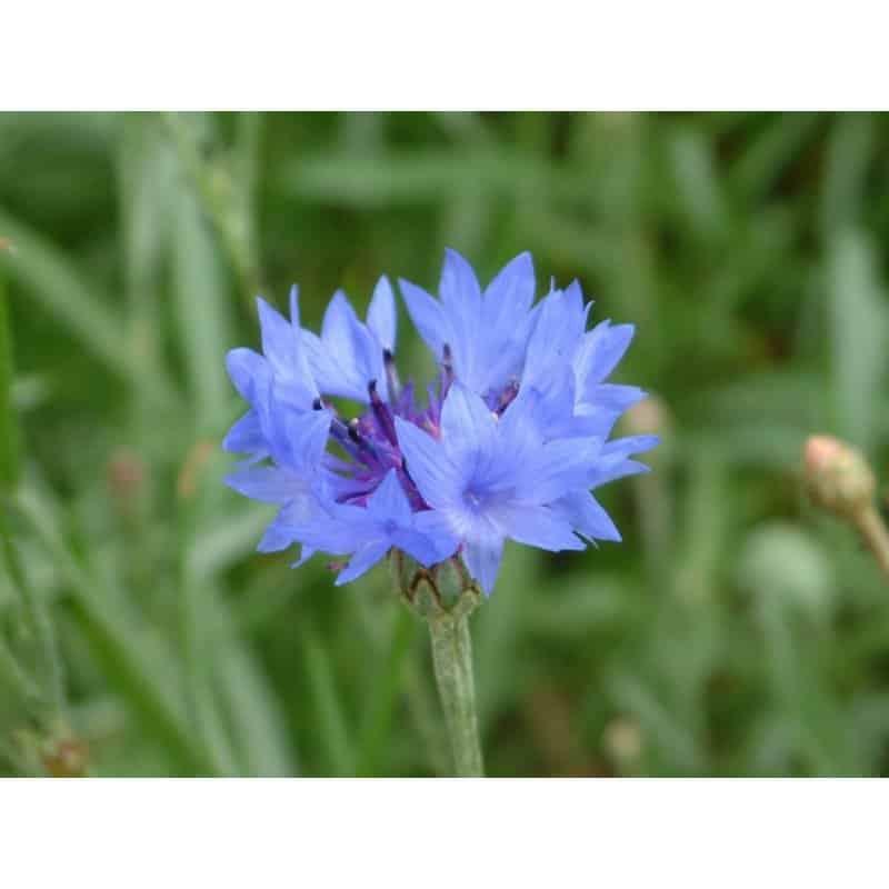 Graines Bleuet bleu bio – Les Semailles