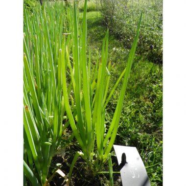 Graines Ciboule bio - Les Semailles 1