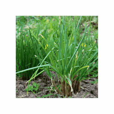 Graines Ciboule bio - Les Semailles