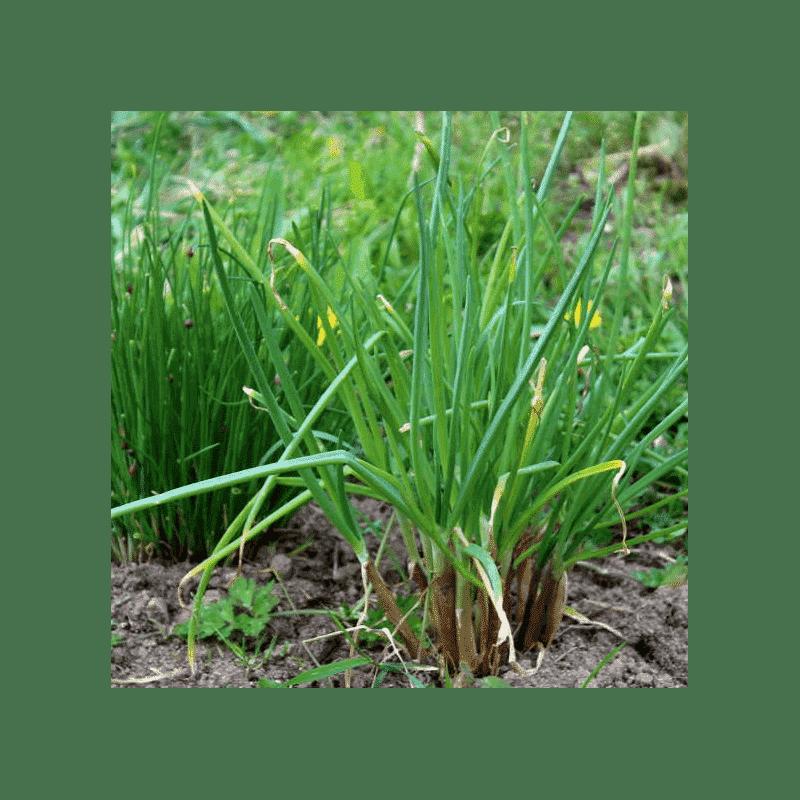 Graines Ciboule bio – Les Semailles