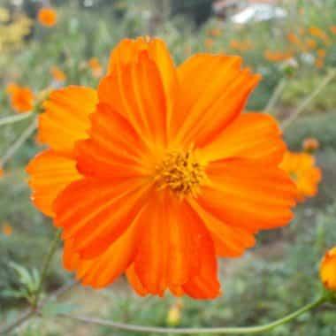 Graines Cosmos sulfureux orange bio - Graines del pais