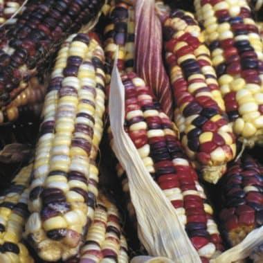 Graines Maïs arc en ciel Inca bio - Kokopelli 1