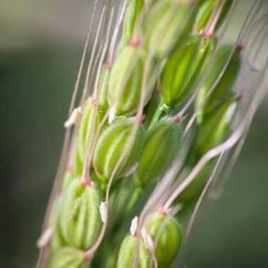 Graines Riz Duborskian bio - Kokopelli 1