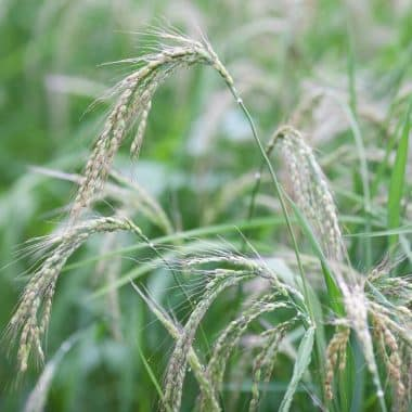 Graines Riz Duborskian bio - Kokopelli 2