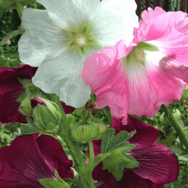 Graines Rose trémière en mélange de couleur bio – Kokopelli