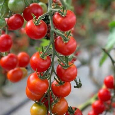 Graines Tomate cerise miel du Mexique bio - Ferme de Sainte Marthe