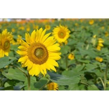 Graines Tournesol grand jaune bio - Les Semailles 1