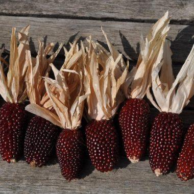 Graines Mais à Pop-Corn Fraise bio - Graines del pais