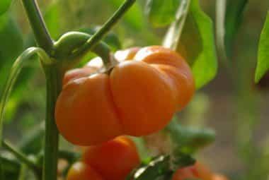 Graines Poivron mandarine bio - Graines del pais 2