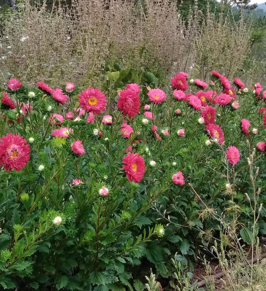 Graines Reine Marguerite Rouge bio – Graines del pais