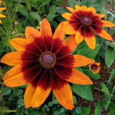 Graines Rudbeckia couleur d'automne bio - Graines del pais 1