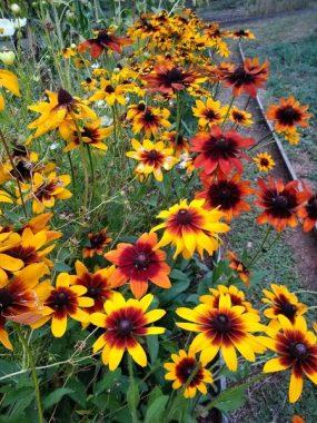 Graines Rudbeckia couleur d'automne bio - Graines del pais