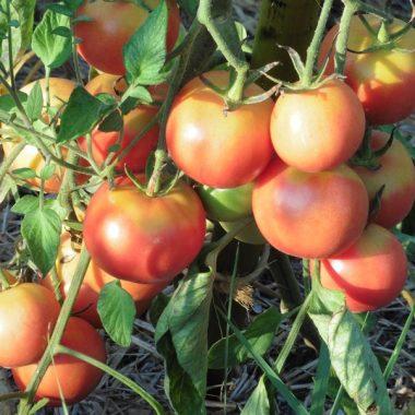 Graines Tomate à suspendre St Jaumes de Sesoliveres bio - Graines del pais