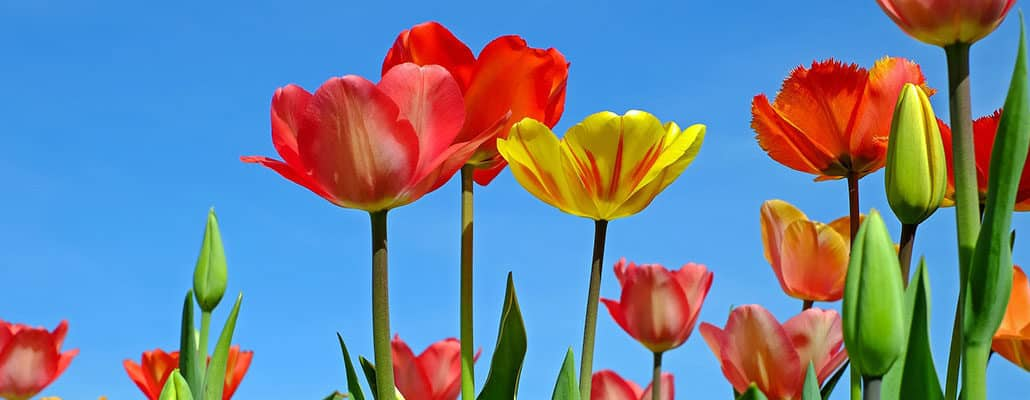Des tulipes en paniers | 4 saisons n°244