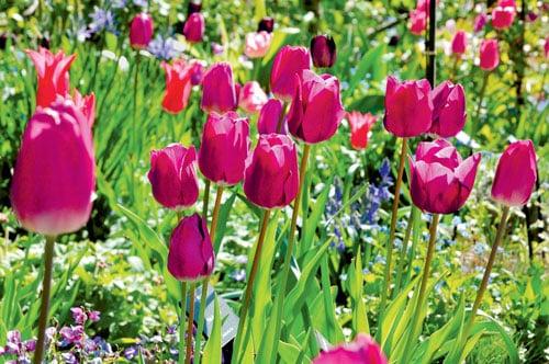 Des tulipes en paniers | 4 saisons n°244 1