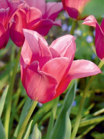Des tulipes en paniers | 4 saisons n°244 4