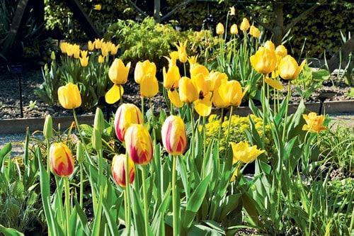 Des tulipes en paniers | 4 saisons n°244 5