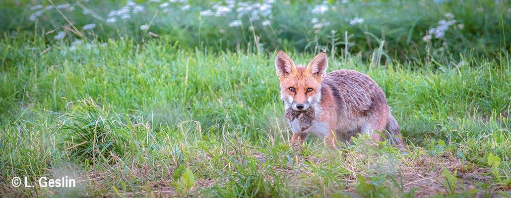 Le campagnol et le renard   4 saisons n°244