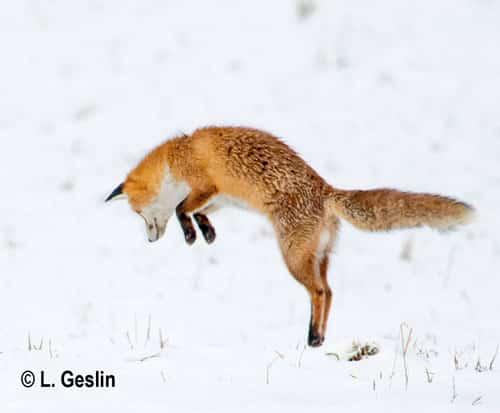 Le campagnol et le renard   4 saisons n°244 1