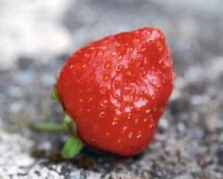 Panique sur le fraisier 1