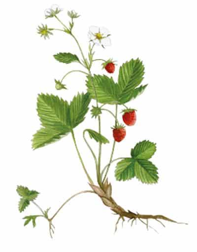 Panique sur le fraisier 3