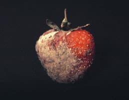 Panique sur le fraisier 5