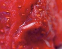 Panique sur le fraisier 8