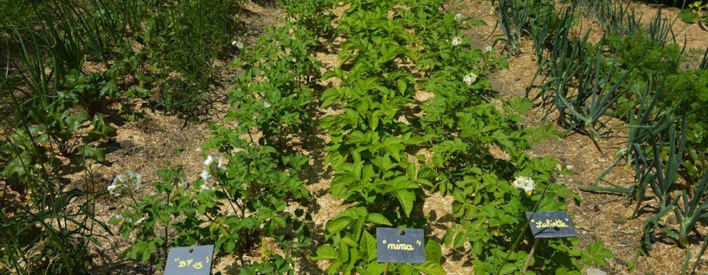 Pommes de terre au banc d'essai