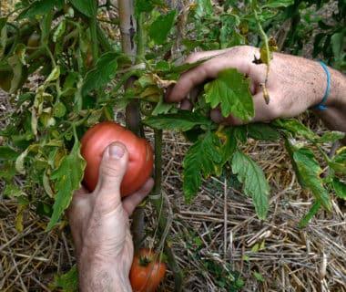 Banc d'essai: tomates, les jardiniers dégustent 6