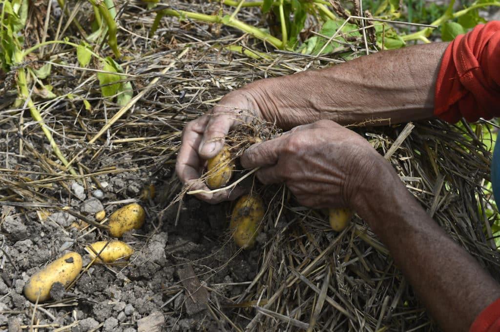 Pommes de terre au banc d'essai 7
