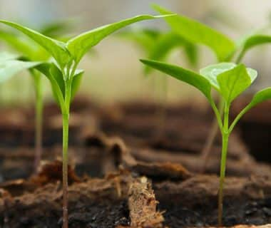 Tout savoir sur les artisans semenciers bio | 4 saisons n°235 1