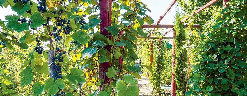 Une treille au goût fraise   4 saisons n°245