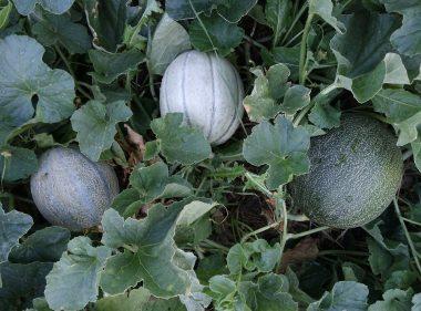 Graines Melon Cantaloup Charentais bio - Jardin'enVie 2