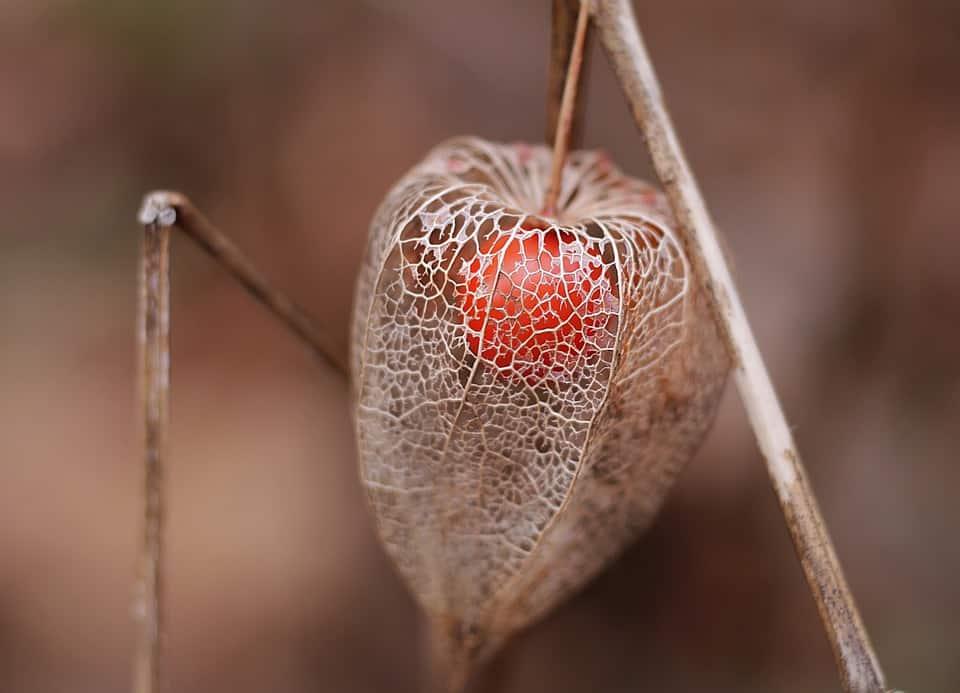 Graines Physalis Peruviana bio – Jardin'enVie 2
