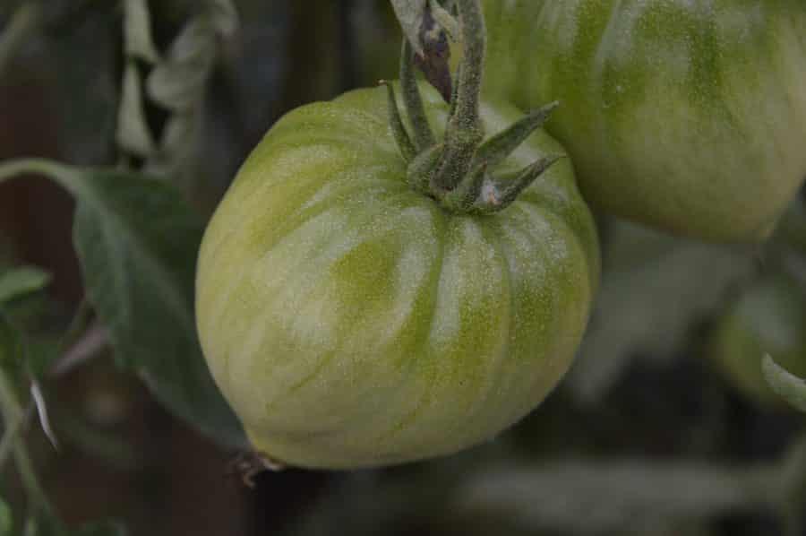 Graines Tomate cœur de bœuf rouge bio - Jardin'enVie