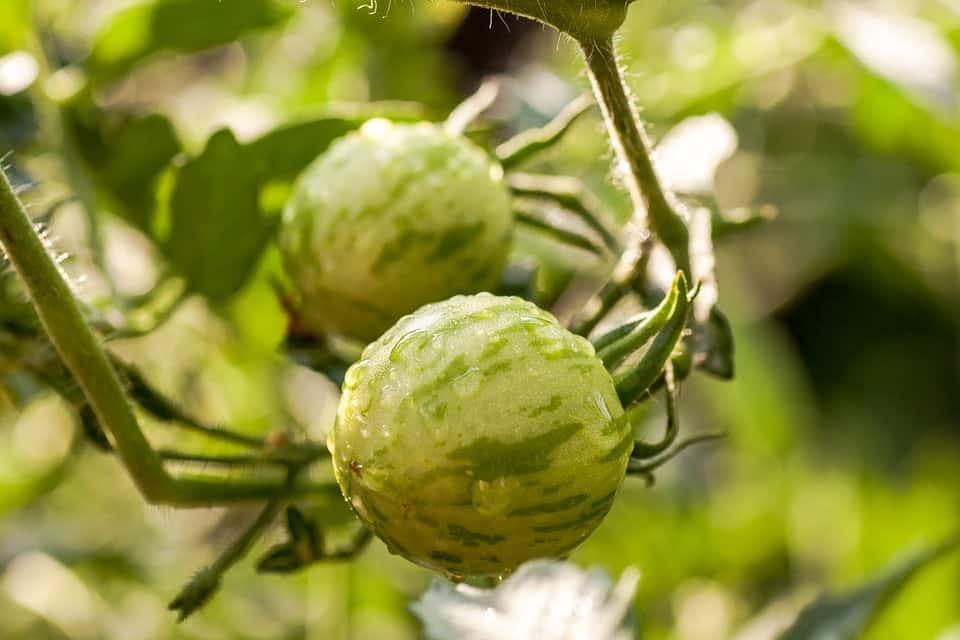 Graines Tomate green zebra bio – Jardin'enVie
