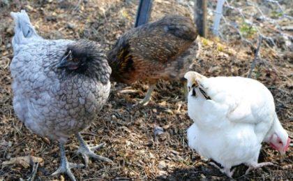 Poules au poulailler