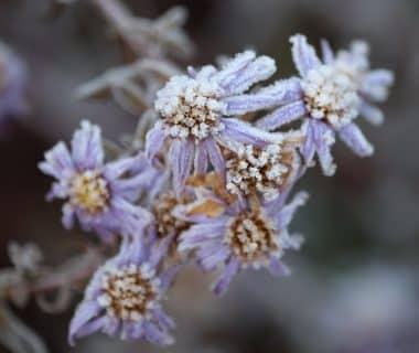 Fleur gelée, Roland Steinmann de Pixabay