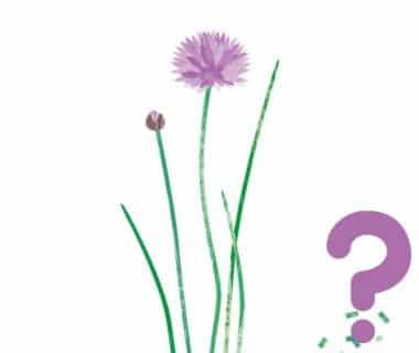 Poireaux & mouche mineuse : au compost ?