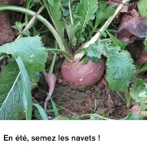 En été, semez des navets