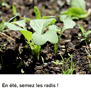 En été, semez des radis