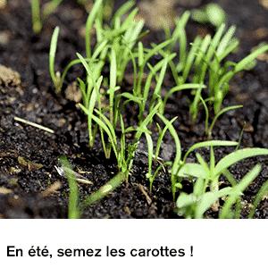 En été, semez les carottes