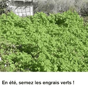 En été, semez les engrais verts