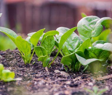 Comment réussir la culture de l'épinard ?